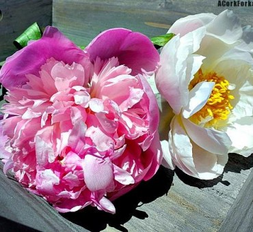 Season of The Peony