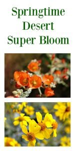 Springtime Desert Super Bloom
