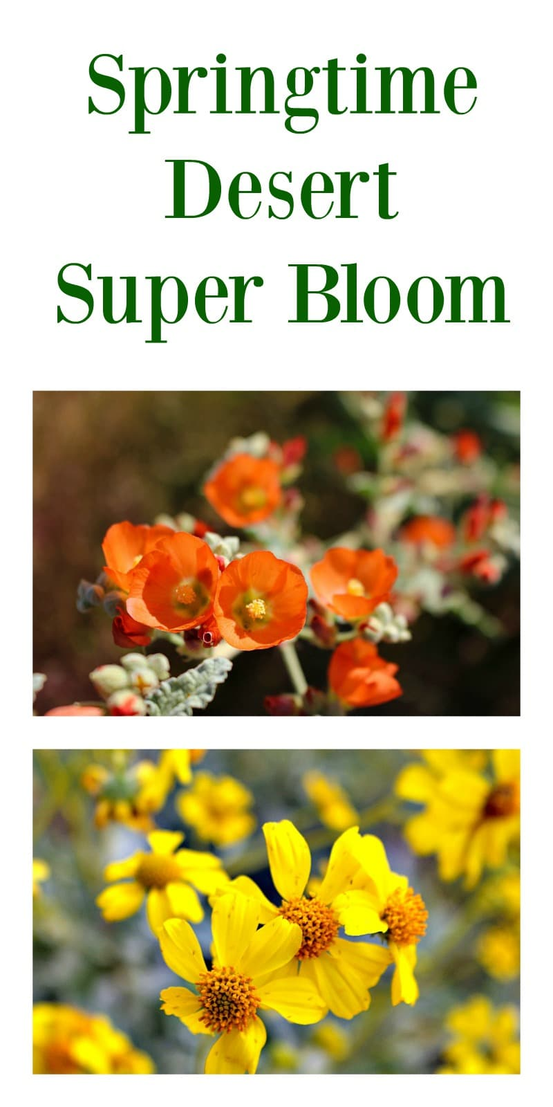 A Kaleidoscope of colors showcases the springtime Desert Super Bloom in Southern California and Arizona.  Come see the super bloom before it is gone!